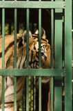 Royal Bengal tiger in a cage at a zoo Royalty Free Stock Photo