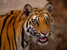 Royal bengal tiger closeup. Pride of Indian wildlife..shot in Bandhavgadh N.P Stock Photos