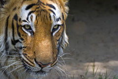 Royal Bengal tiger. Closeup shot of Male royal bengal tiger Stock Image