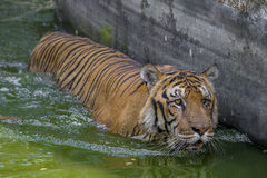 A Royal Bengal Tiger at Dhaka Zoo takes bath to beat the hot summer heat. The Royal Bangal Tiger is the native animal of Bangladesh and it lives in Sundarbans Stock Photography