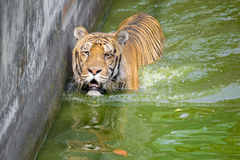 A Royal Bengal Tiger at Dhaka Zoo takes bath to beat the hot summer heat. The Royal Bangal Tiger is the native animal of Bangladesh and it lives in Sundarbans Stock Photos