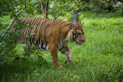 A Royal Bengal Tiger at Dhaka Zoo takes bath to beat the hot summer heat. The Royal Bangal Tiger is the native animal of Bangladesh and it lives in Sundarbans Royalty Free Stock Photography