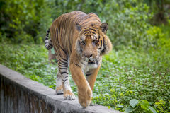 A Royal Bengal Tiger at Dhaka Zoo takes bath to beat the hot summer heat. The Royal Bangal Tiger is the native animal of Bangladesh and it lives in Sundarbans Stock Images