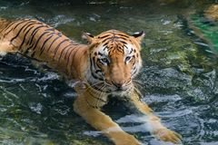 The Royal Bengal Tiger royalty free stock image