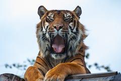 Royal Bengal Tiger. Front sitting down view of a Royal Bengal Tiger & x28;panthera tigris& x29 Stock Photos