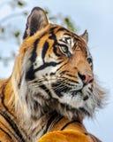 Royal Bengal Tiger. Front view of a Royal Bengal Tiger & x28;panthera tigris& x29 Stock Photography