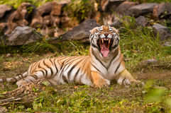 Royal Bengal Tiger growling Royalty Free Stock Image