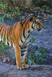 Royal Bengal Tiger. Live territory Royalty Free Stock Image