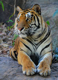 Royal Bengal Tiger Stock Image