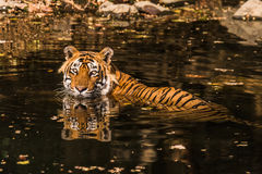 Royal Bengal Tiger named Ustaad. Cooling himself and relaxing on his own territory pool while looking towards camera at Ranthambore Tiger Reserve Stock Image