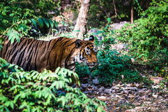Royal Bengal Tiger named Ustaad walking. Bengal Tiger named Ustaad T-24 strolling at Ranthambore Royalty Free Stock Photo