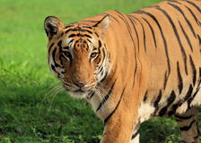 Royal Bengal Tiger - Panthera Tigris Tigris - Chattbir Zoo - Chandigarh - India. The Royal Bengal Tiger is one of the five sub-species distributed through Asia Royalty Free Stock Photography