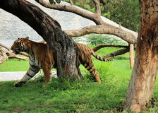Royal Bengal Tiger - Panthera Tigris Tigris - Chattbir Zoo - Chandigarh - India. The Royal Bengal Tiger is one of the five sub-species distributed through Asia Stock Photos