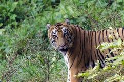Royal Bengal Tiger. Potrait of a Royal Bengal Tiger scientific name - Panthera tigris tigris Stock Photos