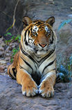 Royal Bengal Tiger relax Stock Photo