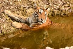 Royal Bengal tiger resting and cooling off in water body Royalty Free Stock Image
