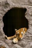 Royal Bengal tiger resting and looking to camera Royalty Free Stock Photo