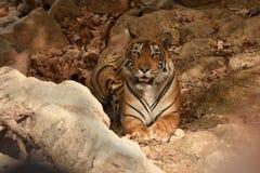 Royal Bengal tiger resting Under the tree shade. Ranthambhore national park Stock Image