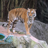 Royal Bengal tiger. Standing on the rock Royalty Free Stock Images