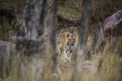 A royal bengal tiger on stroll for scent marking in his territory. A head on shot of a pregnant tigress at kanha national park. Mandla, madhya pradesh, india royalty free stock images
