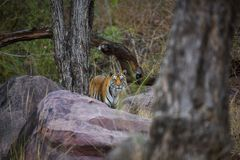 A royal bengal tiger on stroll for scent marking in his territory. A head on shot of a pregnant tigress at kanha national park. Mandla, madhya pradesh, india royalty free stock photos