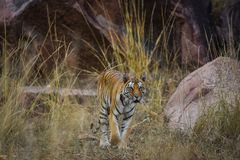 A royal bengal tiger on stroll for scent marking in his territory. A head on shot of a pregnant tigress at kanha national park. Mandla, madhya pradesh, india royalty free stock photo