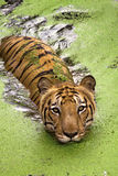 Royal Bengal Tiger swimming in water. A Royal Bengal Tiger swiming in water ,chilling out during the summer Royalty Free Stock Image