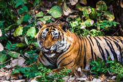 Royal Bengal Tiger T-24 Ustaad. Royal Bengal Tiger named Ustaad T-24 making funny face at Ranthambore National Park Stock Photo