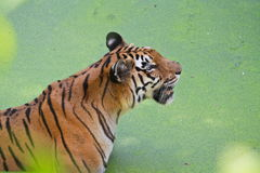Royal Bengal Tiger Royalty Free Stock Photos