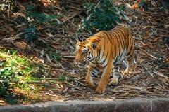 Royal Bengal Tiger in in Trivandrum, Thiruvananthapuram Zoo Kerala India. Royal Bengal Tiger - wild cat predator walking and posing in in Trivandrum Stock Image