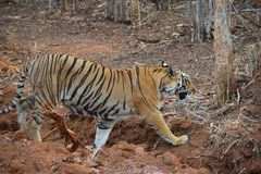 Royal Bengal tiger walking across a ditch at Tadoba Tiger Reserve, India. While enjoying a jeep safari through the Tadoba tiger reserve in India, managed to get royalty free stock image