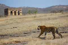 A Royal Bengal Tiger with landscape. A Royal bengal tiger walking in the forest with ruins and blue sky in the background. Shows that they have adopted the land Royalty Free Stock Photography
