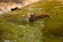 Royal Bengal Tiger walks through water Royalty Free Stock Photography
