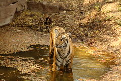 Royal Bengal Tiger in water royalty free stock photos