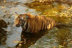 Royal Bengal Tiger in water. Captive Royal Bengal Tiger in water, Nehru Zoo park, Hyderabad, Andhra Pradesh, India Royalty Free Stock Photography