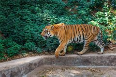 Royal Bengal Tiger in in Trivandrum, Thiruvananthapuram Zoo Kerala India. Royal Bengal Tiger - wild cat predator walking and posing in in Trivandrum Stock Images