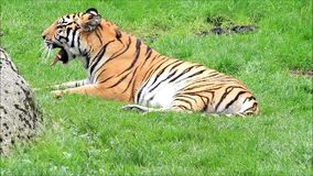 Royal bengal tiger yawns on meadow stock video footage