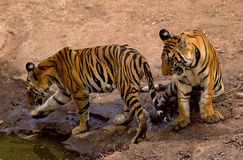 Royal bengal tigers. Full grown cubs are shot in Bandhavgadh N.P Royalty Free Stock Photo