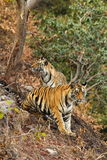 Royal Bengal Tigers Stock Images