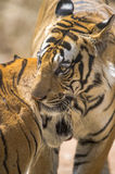Royal bengal tigers  Stock Image