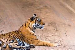 Royal Bengal Tigress Noor Royalty Free Stock Image