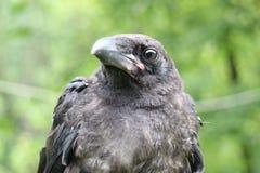 Royal black raven, closeup Stock Photo