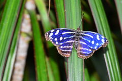 Royal Blue butterfly. A pretty blue butterfly shows off a dorsal view for its admireres stock photos