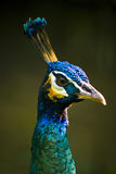 Royal Blue Peacock Stock Photo