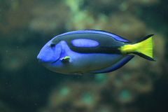 Royal blue tang Stock Photo