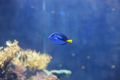 Royal blue tang Royalty Free Stock Photography
