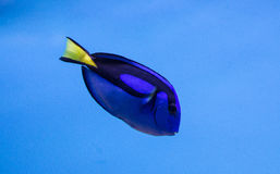Royal Blue Tang Stock Photos