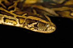 Royal boa Royalty Free Stock Image