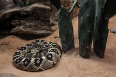 Royal boa on sand Stock Images