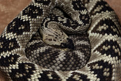 Royal boa on sand Stock Photo